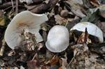 Bleiweisser Trichterling (Clitocybe phyllophila) Foto