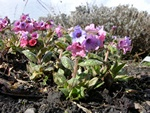 Geflecktes Lungenkraut (Pulmonaria officinalis) Foto