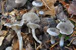 Clitocybe ditopus Foto
