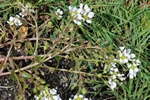 Cochlearia officinalis ssp. anglica Foto