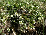 Cochlearia officinalis ssp. officinalis Foto