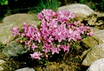 Rhododendron (Pink drift) Foto