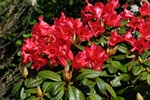 Rhododendron (Red Juwel) Foto