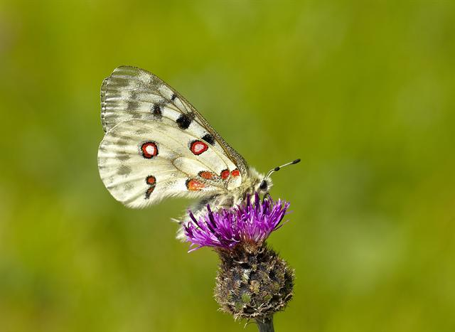 Apollo (Parnassius apollo) Foto
