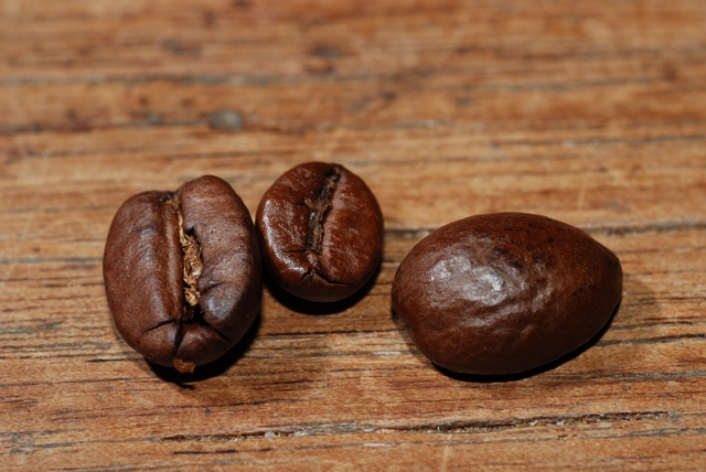 Coffea sp.