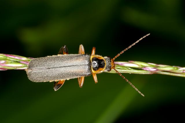 Cantharis nigricans