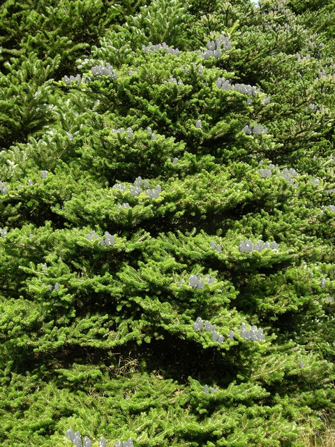 Koreatanne (Abies koreana)