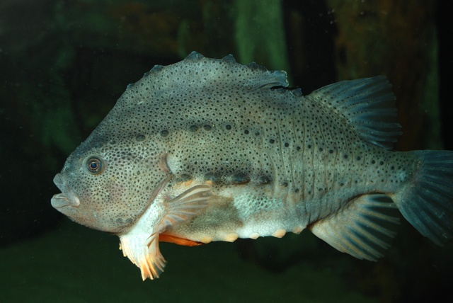 Seehase (Cyclopterus lumpus)