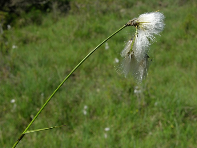 Breitblättriges Wollgras (Eriophorum latifolium)
