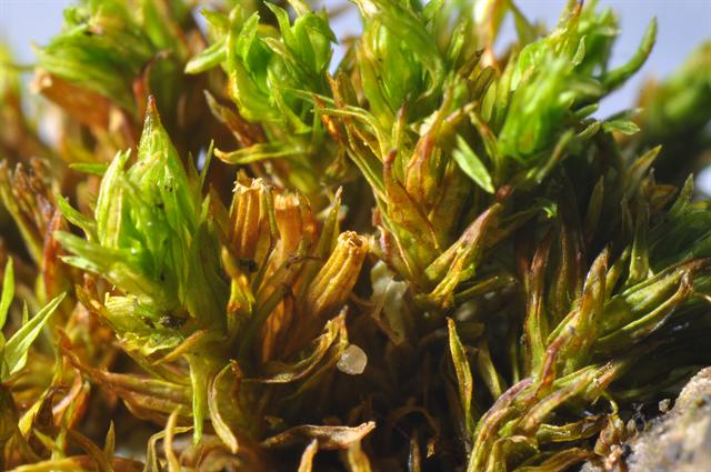 Goldhaarmoos (Orthotrichum affine)