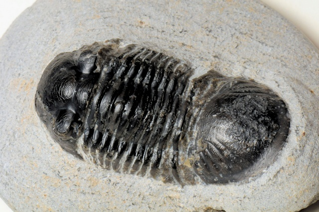 Paralejurus sp.