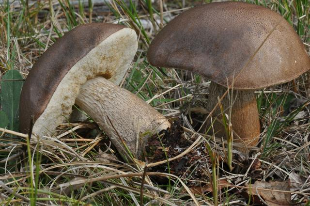 Gallenröhrling (Tylopilus felleus)