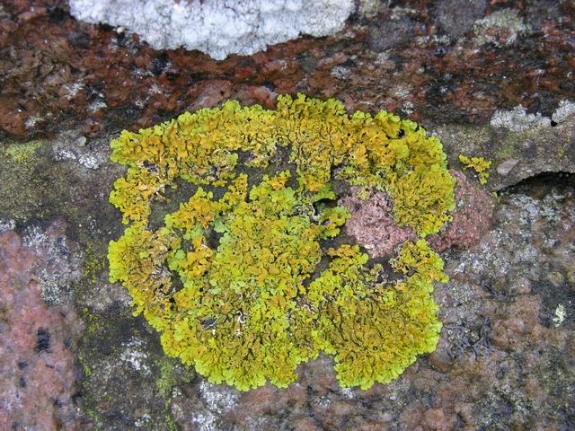 Gelbe wandsch sselflechte xanthoria parietina biopix for Gelbe tafel