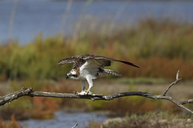 Fischadler (Pandion haliaetus)
