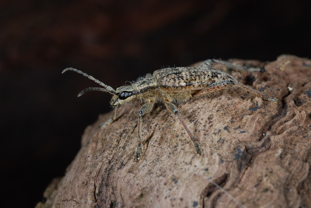 Rhagium inquisitor