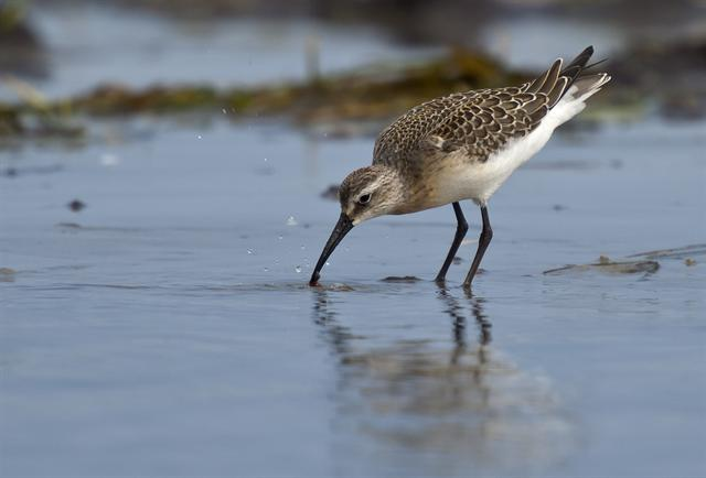 Sichelstrandläufer (Calidris ferruginea)