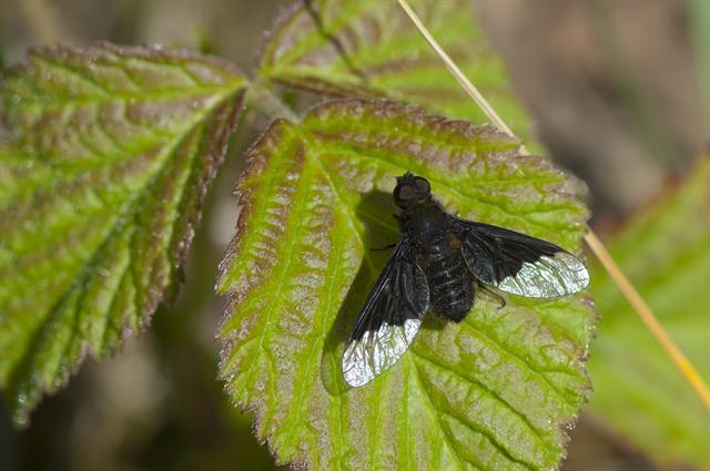 Hemipenthes morio