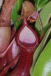 Nepenthes x