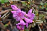 Lappland-Alpenrose (Rhododendron lapponicum)