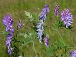 Vogel-Wicke (Vicia cracca)