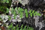 Alpen-Wimperfarn (Woodsia alpina)